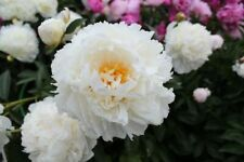 """ITOH PEONY PLANT ROOT """"WHITE LEGEND"""" HYBRID (NOT SEEDS) with eyes!"""