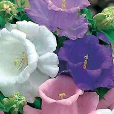 50+ Campanula Canterbury Double Bells Mix Flower Seeds / Perennial