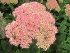Sedum Autumn Joy (bare rooted) cacti and succulents perennial plant