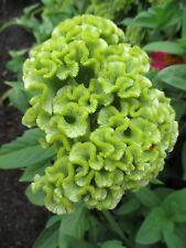 50+ Spring Green Cockscomb Flower Seeds / Celosia /Self-Seeding Annual