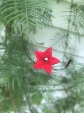 X2🌿Cardinal Climber*Red Star Flowers Hummingbird Vine Live Plants Garden Basket