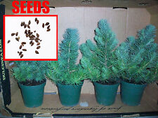 15 AWESOME Blue Christmas Tree Seeds! Grow Your own Live Xmas Tree! Blue Spruce
