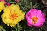 1000/3000 Graines Pourpier Grande Double Fleur Varié Portulaca Plante Succulente