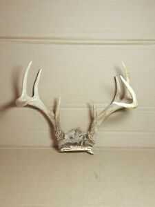 "9 Point Whitetail Buck Deer European Mount Shed Antlers Craft 14"" Spread"