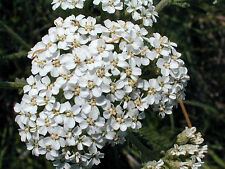 PERENNIAL FLOWER YARROW WHITE ACHILLEA MILLEFOLIUM 1GM