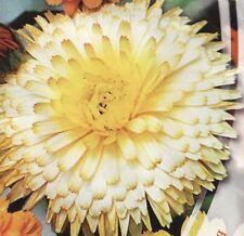 Calendula Officinalis Creme brulee Flowers Seeds from Ukraine