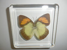 Yellow Orange Tip Ixias pyrene Butterfly N in clear Block Education Specimen