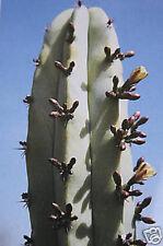 Myrtillocactus geometrizans cacti cactus seed 100 SEEDS