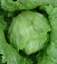 200 Pcs iceberg lettuce seeds Heirloom Vegetable ,NON GMO