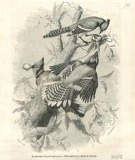 Oiseau Geai bleu Cyanocitta cristata  passereau dessin de Freeman GRAVURE 1852