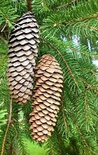 """Long Slender 25 + Pine CONES NATURAL Norway Spruce CRAFTS WREATHS 5 """" Pinecones"""