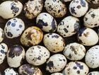 24 Jumbo brown cortunix quail hatching eggs