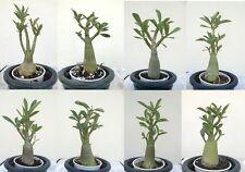 (1) DWARF Adenium obesum Desert Rose - Succulent Plants Caudex Bonsai RARE