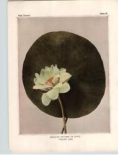 1934 Wildflower Book Plate American Nelumbo or Lotus, Yellow Pond Lily