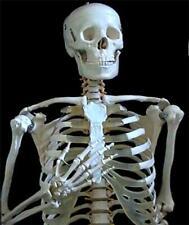 Life Size Human Anatomical Skeleton 170cm for Student & Doctor