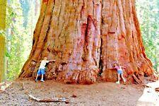 20 COAST ( GIANT ) REDWOOD SEEDS - Sequoia sempervirens