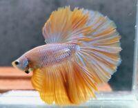 Luxury! (Limitid) Premium Live Betta Fish : Male : RoseTail Yellow Platinum