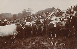 Postcard RP original The Green show agricultural show cattle Sep 1904  38