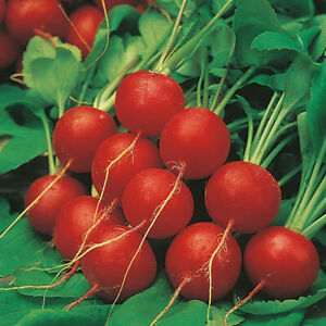 50 RADISH GLOBE SEEDS Lucia F1 Free Postage Fast Depatch Grow your own Veg Now