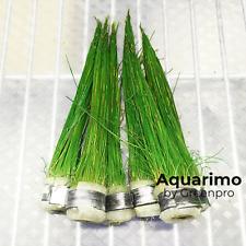 Dwalf Hairgrass 6 Bundles Freshwater Tropical Live Aquarium Plant Decoration