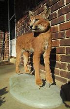 bobcat lynx taxidermy  ebay
