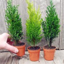 Egrow 50 PCS Italian Cypress Tree Seeds Cupressus Sempervirens Home Garden Bons