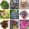 100pcs Coleus Begonia Seeds Bonsai Plant Tree House Herb Garden Flower Pot Decor