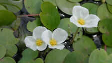 More details for frogbit just drop in pond! live  floating water plant aquatic lake
