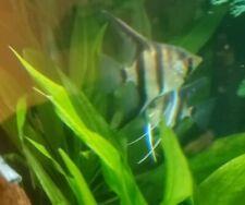 LIVE Angelfish Zebra MALE ONLY
