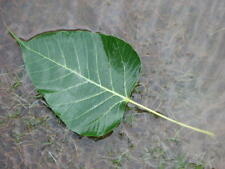 INDIAN PEEPAL LEAVES 30 CT FRESH PICKED BY ORDER BANYAN TREE LEAF PUJA POOJA