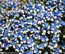 NEMESIA WHITE BLUE KLM - 1100 seeds - Nemesia strumosa