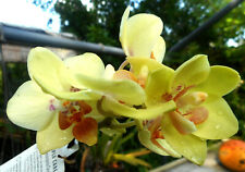 Phalaenopsis Dtps.(Lioulin Ibis X Sogo Pride) Blooming Mini Orchid Plant