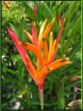 2 Dwarf Heliconia Andromeda Live Rhizome Tropical Bare Root Plant Free Shipping