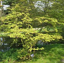 Érable du Japon 'aconitifolium' Acer japonicum POT cultivé env. 60cm