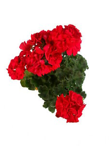 Geranie rot - Stilvolle Pflanzen für Balkon und Garten
