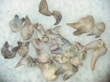 Permian Orthacanthus compressus freshwater shark teeth Texas Red Beds 3 per bid