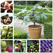 20 PCS Tiger Stripe Fig Tree Seed Heirloom Evergreen Bonsai Non-GMO Fruit