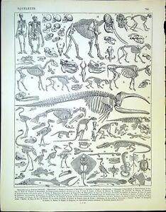 Ancienne gravure de presse  - Le squelette