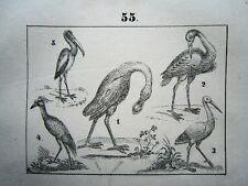 Spoon Goose Heron Pelican Stork Ibis Crane ANIMALS LITHO 1842