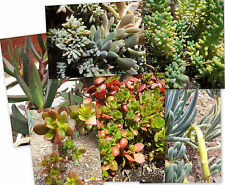 SUCCULENT PLANT CUTTINGS X 6 ( 6 varieties of plant cuttings )