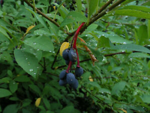 Oso Berry, Indian plum (Oemleria cerasiformis) - 7 fresh seeds