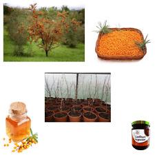 Argousier hippophaé rhamnoides L 1753 idéal pour baies riche en vitamine arbre