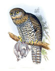 """Vintage John Gould Australian Bird Art CANVAS PRINT~ Powerful Owl 24""""X16"""""""