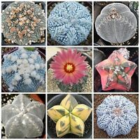 10 Lithops mixed seeds Rare Cactus Succulent Plant Garden Gift Flower