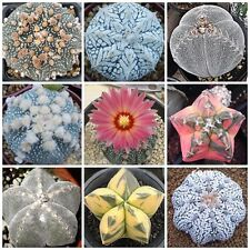 10PCS Mixed Lithops mixed seeds Rare Cactus Succulent Plant Garden Gift Flower