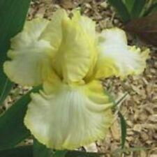 Tall Bearded Iris Summer Olympics yellow white Rhizome Perennial plant
