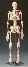 Human Body Skeleton Anatomical Medical School Education Anatomy Bones Parts New