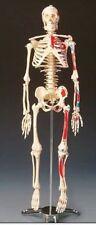 Human Body Skeleton Anatomical Medical School Education Anatomy Bones Parts New