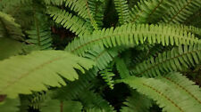 6 - Live Boston Fern Plants With Lots of Roots & Root Balls (They Will Spread)