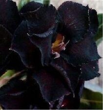 3 x Adenium Obesum Black Steel wüstenros - - - Seeds - B538